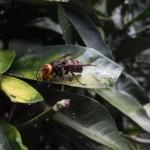 【知識】ハチは人に良い物を作ってくれる~その番外「蜂の子」~