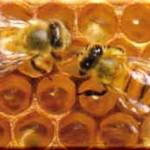 【知識】ハチは人に良い物を作ってくれる~その5「プロポリスの成分について」~