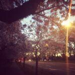 クライストチャーチのハグレーパークは桜が満開♪ 春の訪れを感じています。
